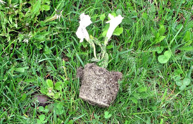 Вандали понищили квіти