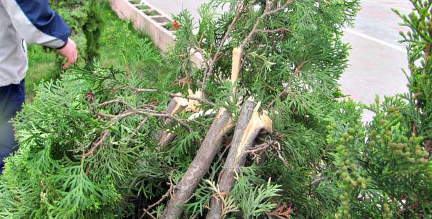Вандали понищили квіти та дерева