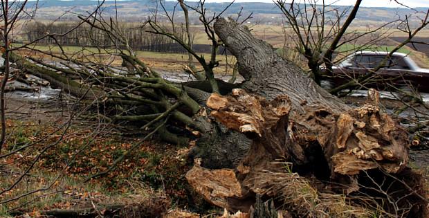 В Ропчі дерево впало на проїжджаючий повз хлібовоз