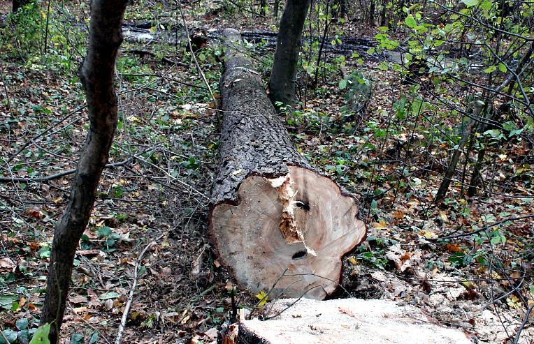 Зріз дерев в Буденці