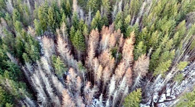 В Сторожинецькому лісгоспі обстежили 156,9 га лісу за допомогою безпілотника