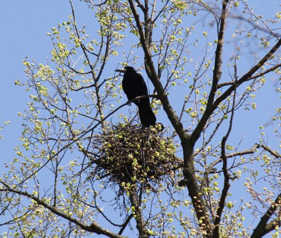 У парку ім. Ю. Федьковича з дерев зняли воронячі гнізда