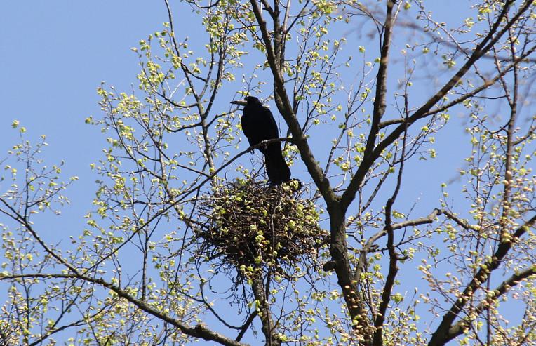 Воронячі гнізда
