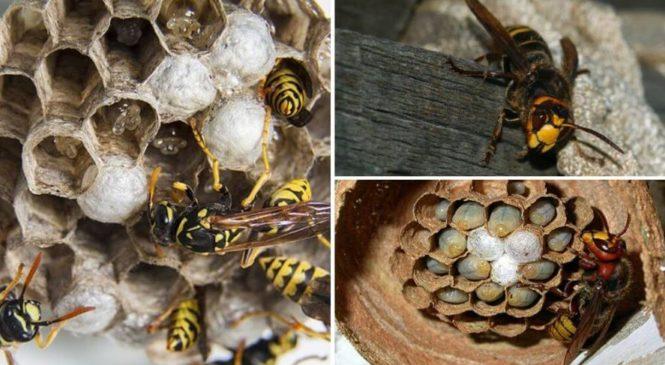 Надаємо консультації по збору шершнів, гнізд шершнів та інших комах