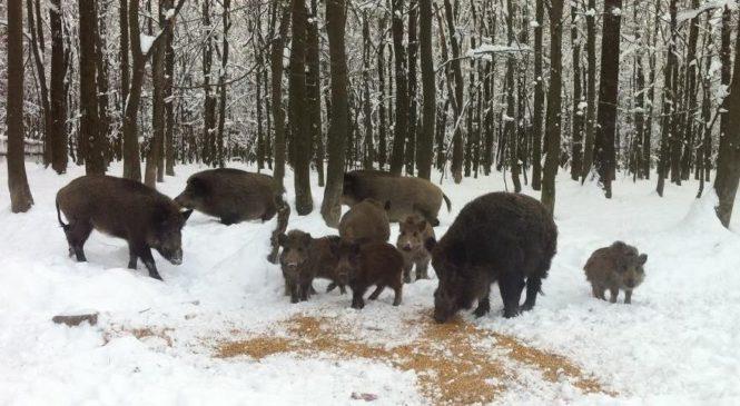 У Сторожинецькому лісгоспі вже заповнили усі годівниці сіном для підгодівлі лісових мешканців