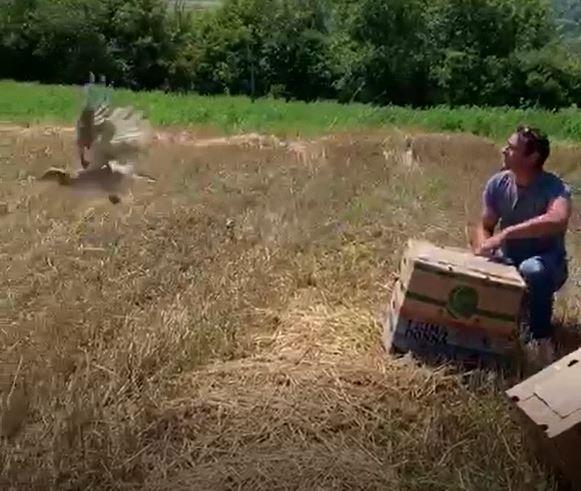 Випуск фазанів